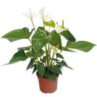 Anthurium blanc