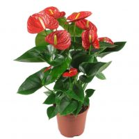 Anthurium rouge 6″