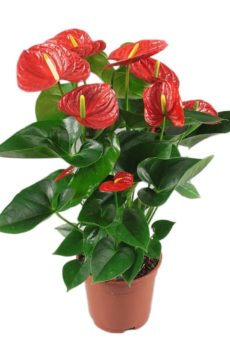 Anthurium rouge 6″