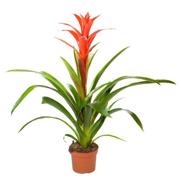 Bromelia orange 6″