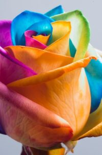 Rose multicolore