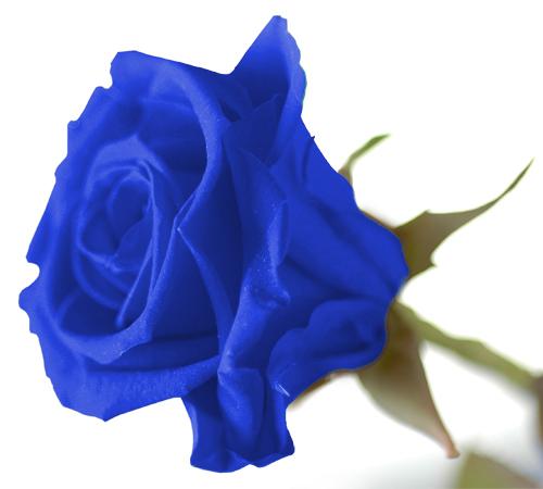 rose bleue fleuriste marie antoinette. Black Bedroom Furniture Sets. Home Design Ideas