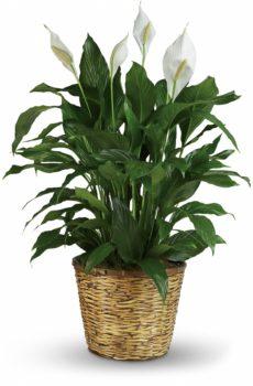 Spathiphyllum 10″