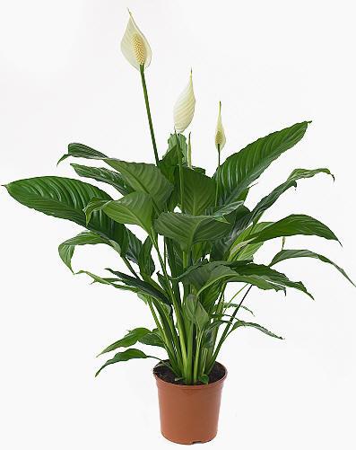 Spathiphyllum 6″