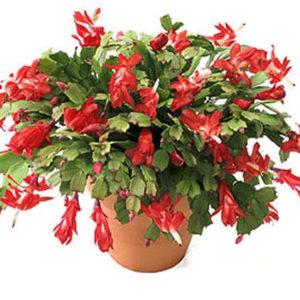 Zygocactus 6 pouces