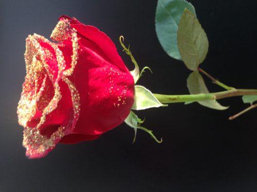 Rose de Noël