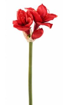 Amaryllis rouge 2 fleurs 1 bourgeon