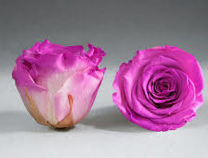 Rose éternelle fuchsia