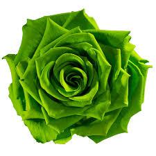 Rose éternelle vert lime