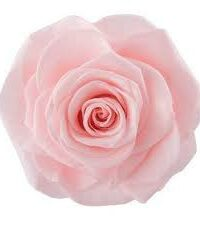 Rose éternelle rose