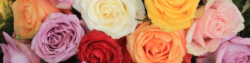 couleurs de roses